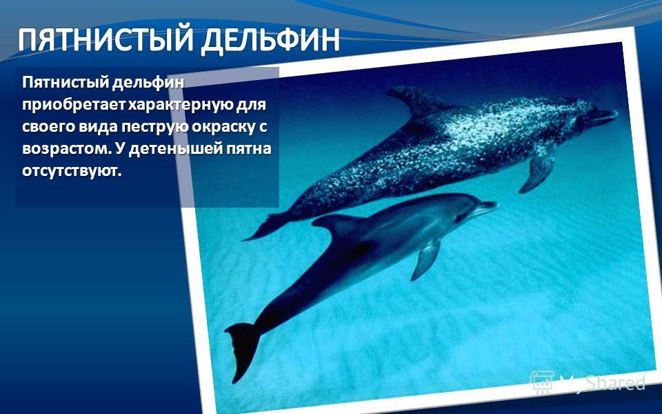 Пятнистый дельфин приобретает характерную для своего вида пеструю окраску с возрастом. У детенышей пятна отсутствуют. Пятнистый дельфин приобретает характерную для своего вида пеструю окраску с возрастом. У детенышей пятна отсутствуют.