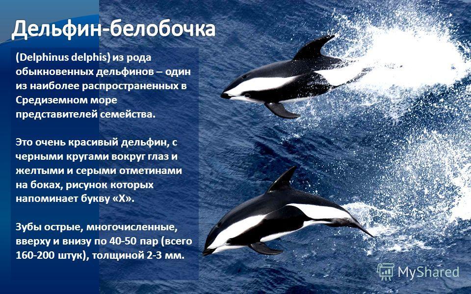 (Delphinus delphis) из рода обыкновенных дельфинов – один из наиболее распространенных в Средиземном море представителей семейства. Это очень красивый дельфин, с черными кругами вокруг глаз и желтыми и серыми отметинами на боках, рисунок которых напо