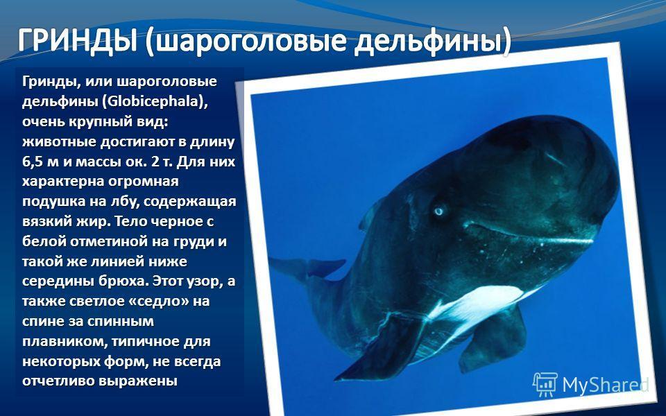 Гринды, или шароголовые дельфины (Globicephala), очень крупный вид: животные достигают в длину 6,5 м и массы ок. 2 т. Для них характерна огромная подушка на лбу, содержащая вязкий жир. Тело черное с белой отметиной на груди и такой же линией ниже сер