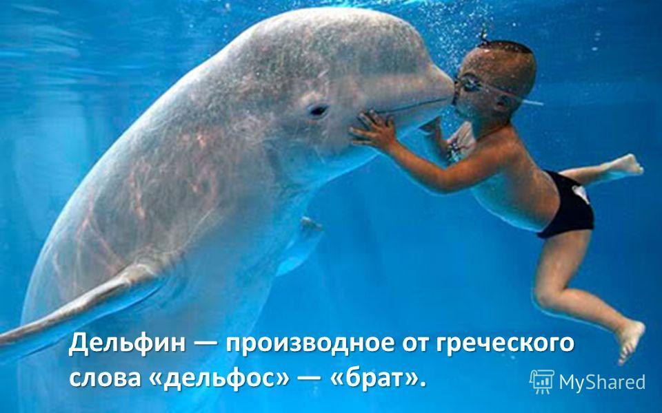 Дельфин производное от греческого слова «дельфос» «брат».