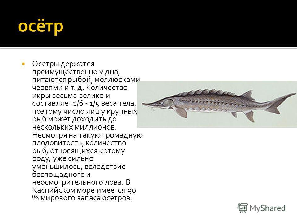 Осетры держатся преимущественно у дна, питаются рыбой, моллюсками, червями и т. д. Количество икры весьма велико и составляет 1/6 - 1/5 веса тела; поэтому число яиц у крупных рыб может доходить до нескольких миллионов. Несмотря на такую громадную пло