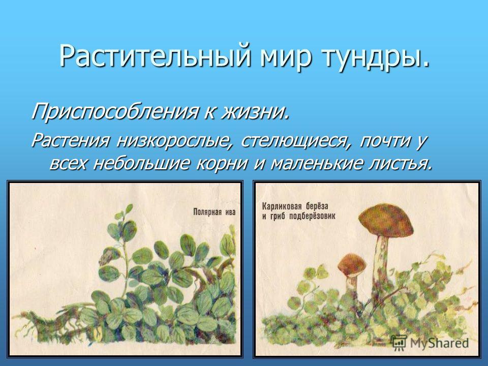 Растительный мир тундры. Приспособления к жизни. Растения низкорослые, стелющиеся, почти у всех небольшие корни и маленькие листья.