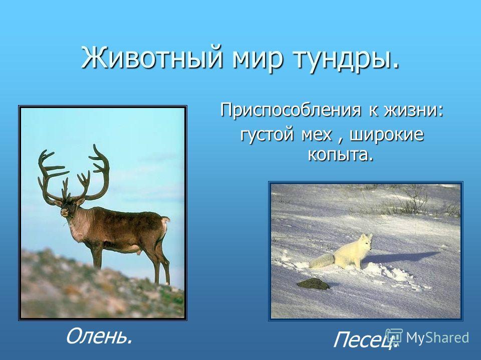 Животный мир тундры. Приспособления к жизни: густой мех, широкие копыта. Олень. Песец.