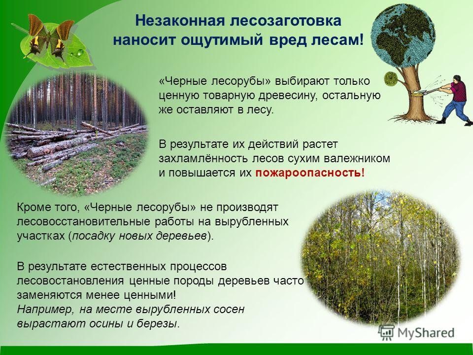 Незаконная лесозаготовка наносит ощутимый вред лесам! В результате их действий растет захламлённость лесов сухим валежником и повышается их пожароопасность! Кроме того, «Черные лесорубы» не производят лесовосстановительные работы на вырубленных участ