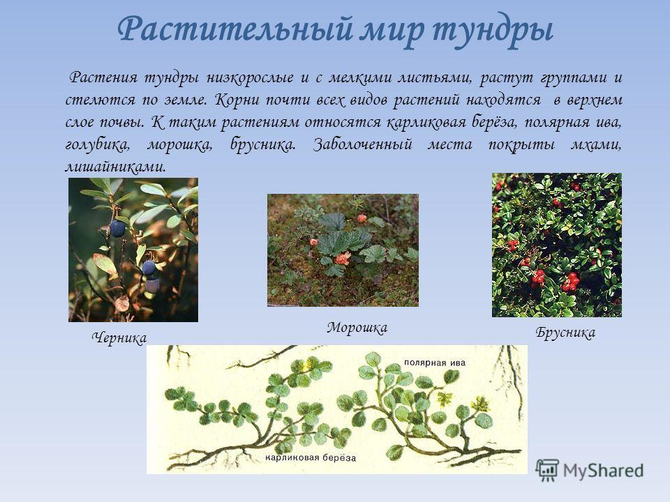 Растительный мир тундры Растения тундры низкорослые и с мелкими листьями, растут группами и стелются по земле. Корни почти всех видов растений находятся в верхнем слое почвы. К таким растениям относятся карликовая берёза, полярная ива, голубика, моро