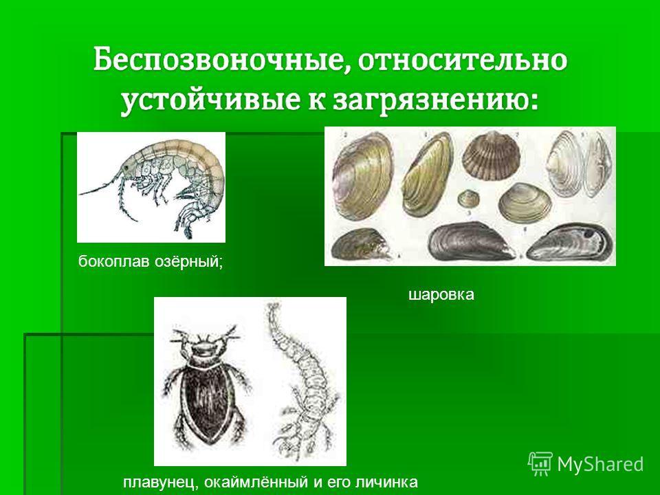 плавунец, окаймлённый и его личинка бокоплав озёрный; шаровка