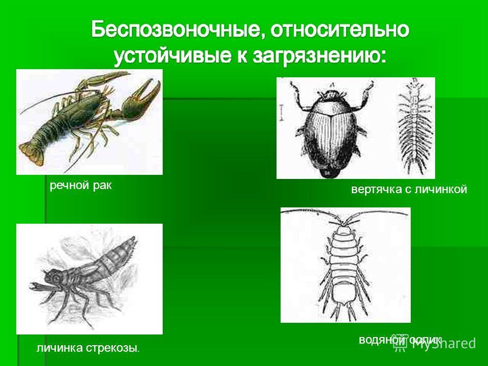 речной рак вертячка с личинкой водяной ослик личинка стрекозы.