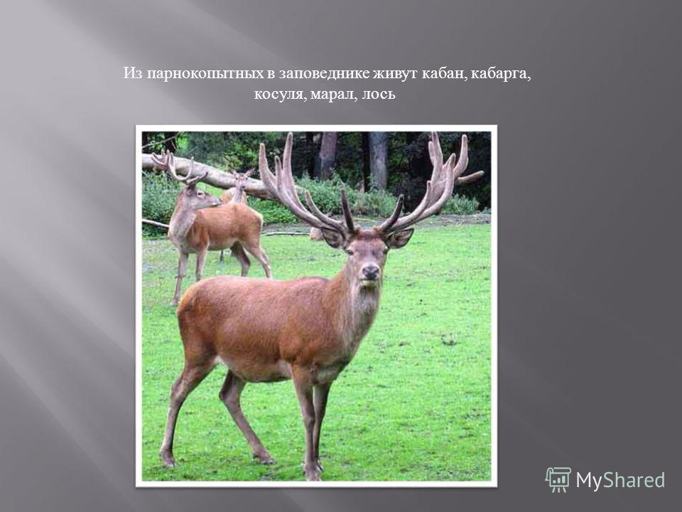 Из парнокопытных в заповеднике живут кабан, кабарга, косуля, марал, лось