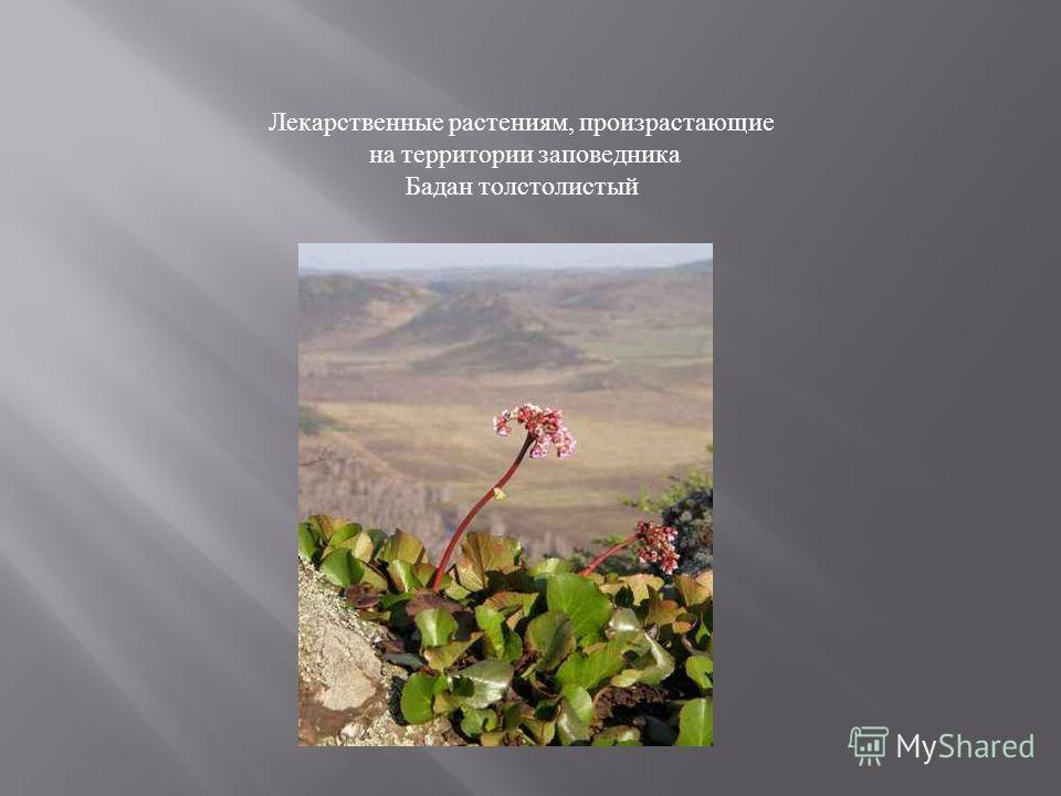 Лекарственные растениям, произрастающие на территории заповедника Бадан толстолистый