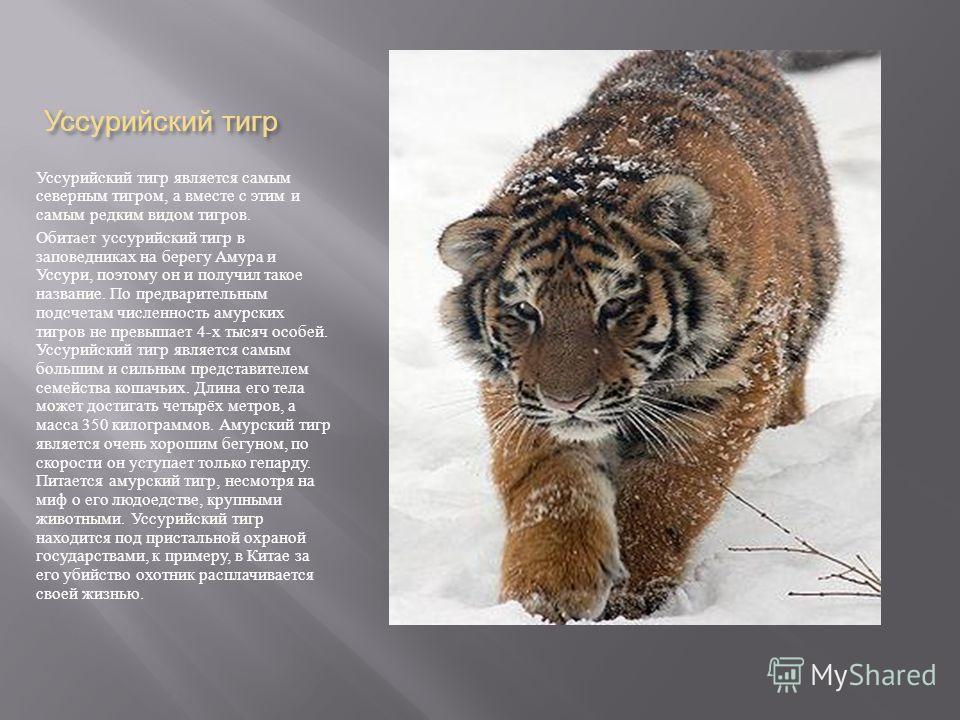 Уссурийский тигр Уссурийский тигр является самым северным тигром, а вместе с этим и самым редким видом тигров. Обитает уссурийский тигр в заповедниках на берегу Амура и Уссури, поэтому он и получил такое название. По предварительным подсчетам численн