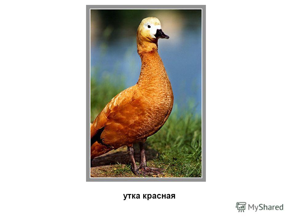 утка красная