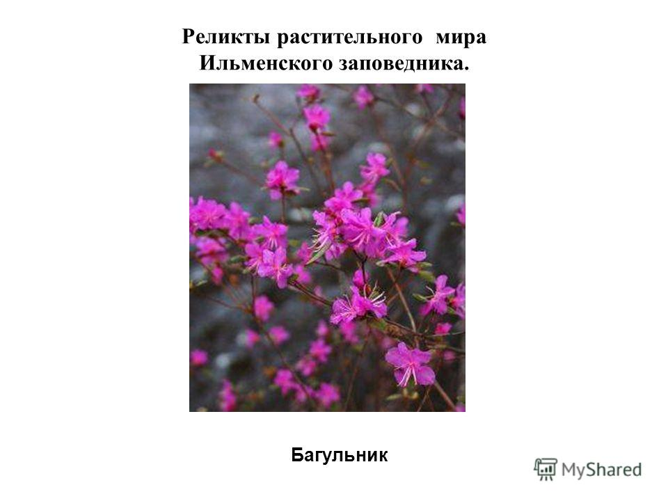Реликты растительного мира Ильменского заповедника. Багульник