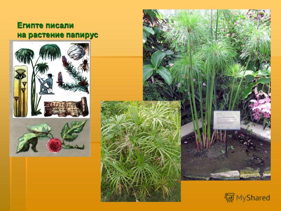 Египте писали на растение папирус