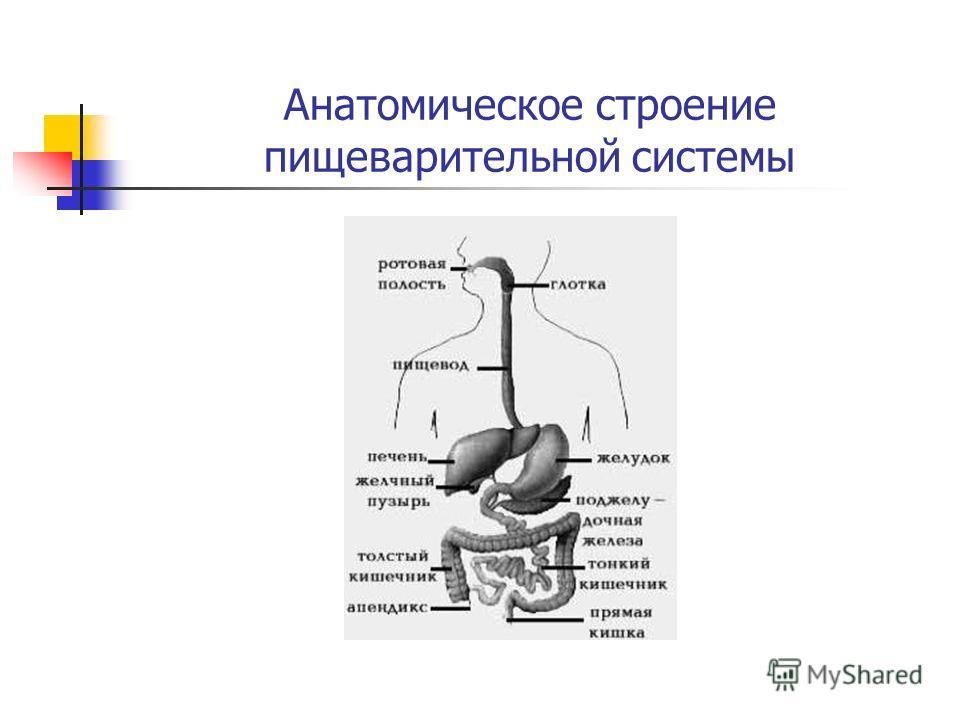 Анатомическое строение пищеварительной системы