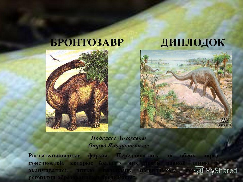 БРОНТОЗАВР ДИПЛОДОК Подкласс Архозавры Отряд Ящеротазовые Растительноядные формы. Передвигались на обеих парах конечностей, которые были у них почти равной длины и оканчивались пятью пальцами, по-видимому, покрытыми роговыми образованиями вроде копыт