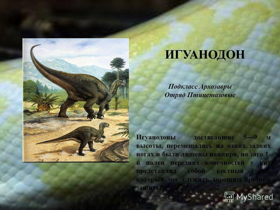 ИГУАНОДОН Подкласс Архозавры Отряд Птицетазовые Игуанодоны достигавшие 59 м высоты, перемещались на одних задних ногах и были лишены панциря, но зато 1- й палец передних конечностей у них представлял собой костный шип, который мог служить хорошим ору