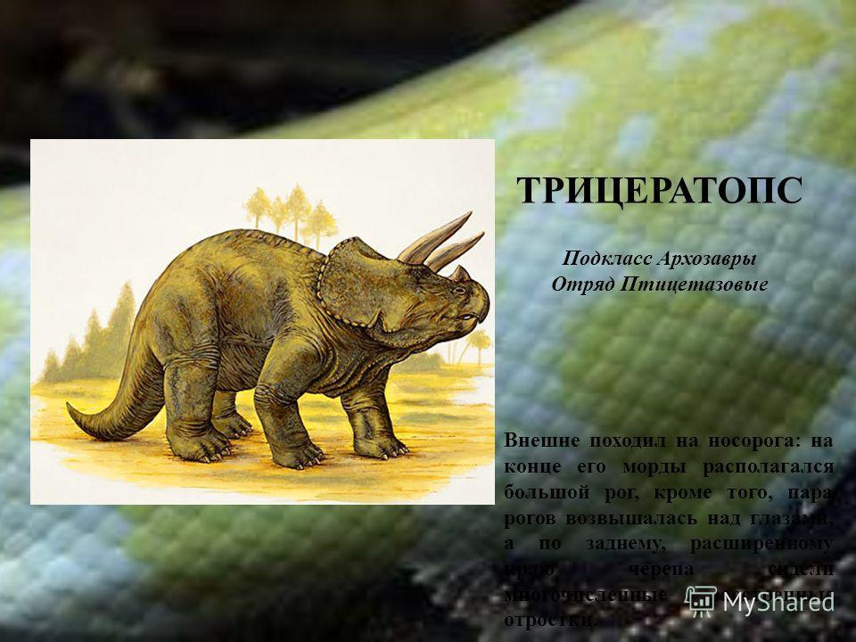ТРИЦЕРАТОПС Подкласс Архозавры Отряд Птицетазовые Внешне походил на носорога: на конце его морды располагался большой рог, кроме того, пара рогов возвышалась над глазами, а по заднему, расширенному краю черепа сидели многочисленные заостренные отрост