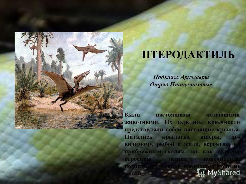 ПТЕРОДАКТИЛЬ Б ыли настоящими летающими животными. Их передние конечности представляли собой настоящие крылья. Питались крылатые ящеры, по- видимому, рыбой и жили, вероятно, по прибрежным скалам, так как, судя по строению задних конечностей, поднятьс
