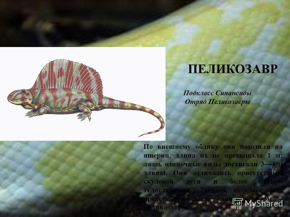 ПЕЛИКОЗАВР По внешнему облику они походили на ящериц, длина их не превышала 1 м; лишь одиночные виды достигали 34 м длины. Они отличались присутствием скуловой дуги и более лёгком телосложении. Данный подкласс был представлен лишь одним отрядом – пе