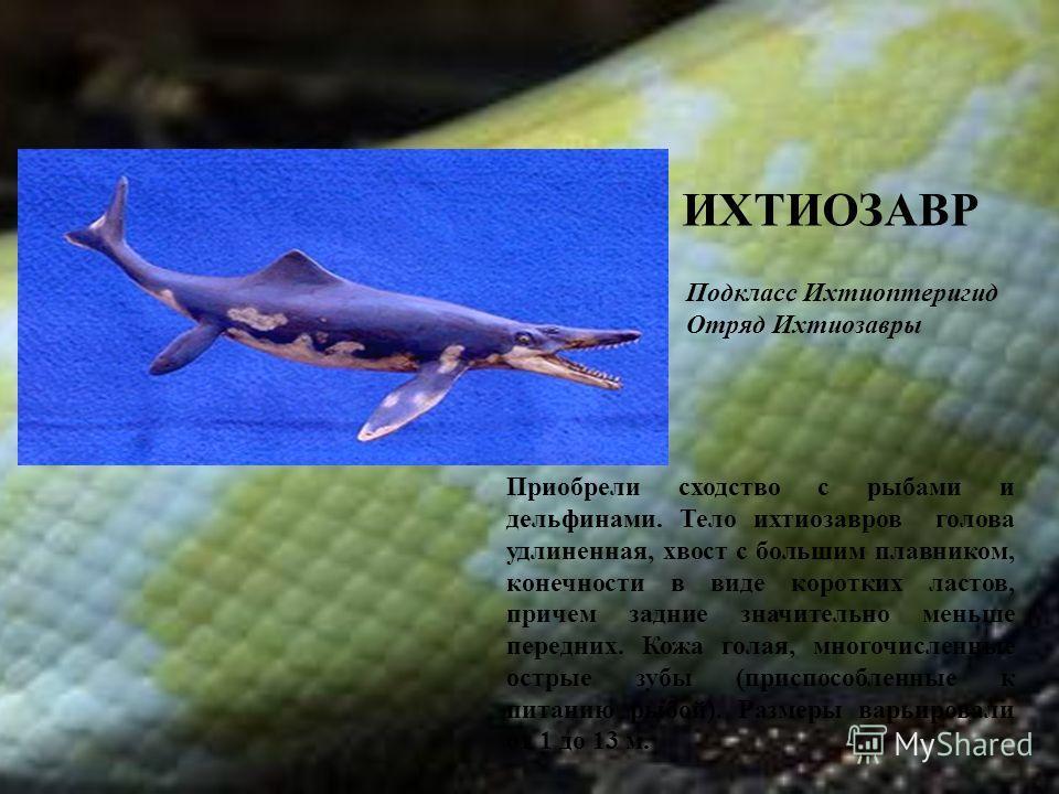 ИХТИОЗАВР Приобрели сходство с рыбами и дельфинами. Тело ихтиозавров голова удлиненная, хвост с большим плавником, конечности в виде коротких ластов, причем задние значительно меньше передних. Кожа голая, многочисленные острые зубы (приспособленные к
