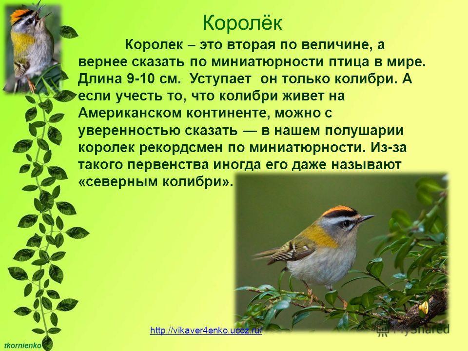 Королёк Королек – это вторая по величине, а вернее сказать по миниатюрности птица в мире. Длина 9-10 см. Уступает он только колибри. А если учесть то, что колибри живет на Американском континенте, можно с уверенностью сказать в нашем полушарии короле