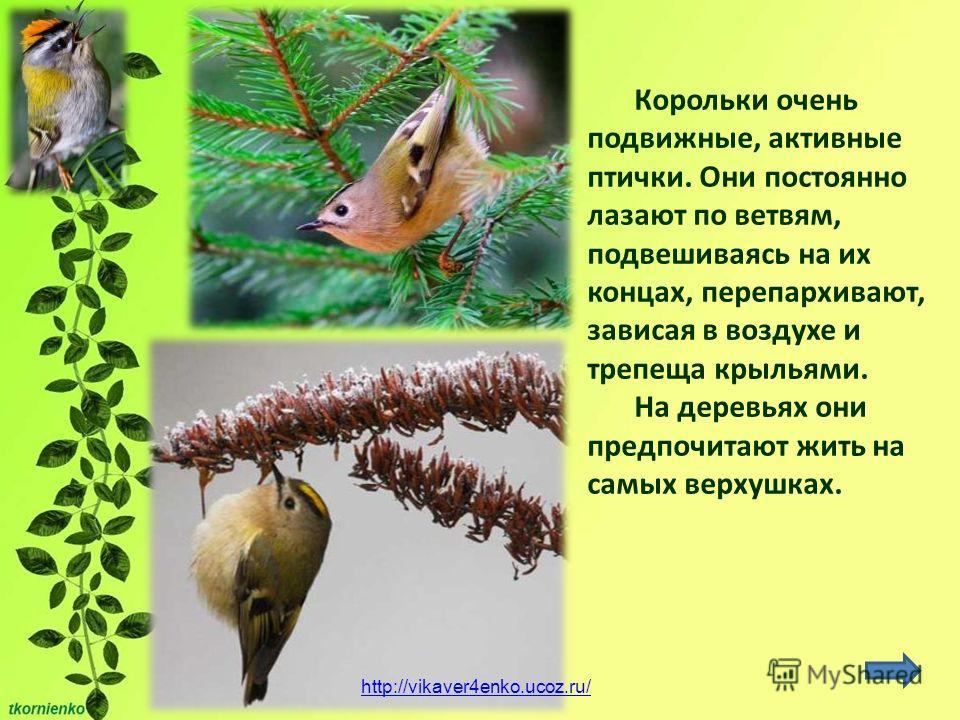 Корольки очень подвижные, активные птички. Они постоянно лазают по ветвям, подвешиваясь на их концах, перепархивают, зависая в воздухе и трепеща крыльями. На деревьях они предпочитают жить на самых верхушках. http://vikaver4enko.ucoz.ru/