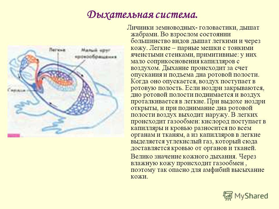 Дыхательная система. Личинки земноводных- головастики, дышат жабрами. Во взрослом состоянии большинство видов дышат легкими и через кожу. Легкие – парные мешки с тонкими ячеистыми стенками, примитивные: у них мало соприкосновения капилляров с воздухо