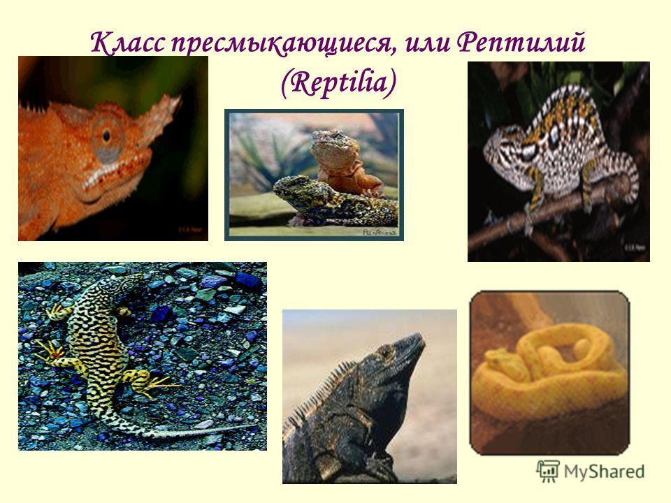 Класс пресмыкающиеся, или Рептилий (Reptilia)