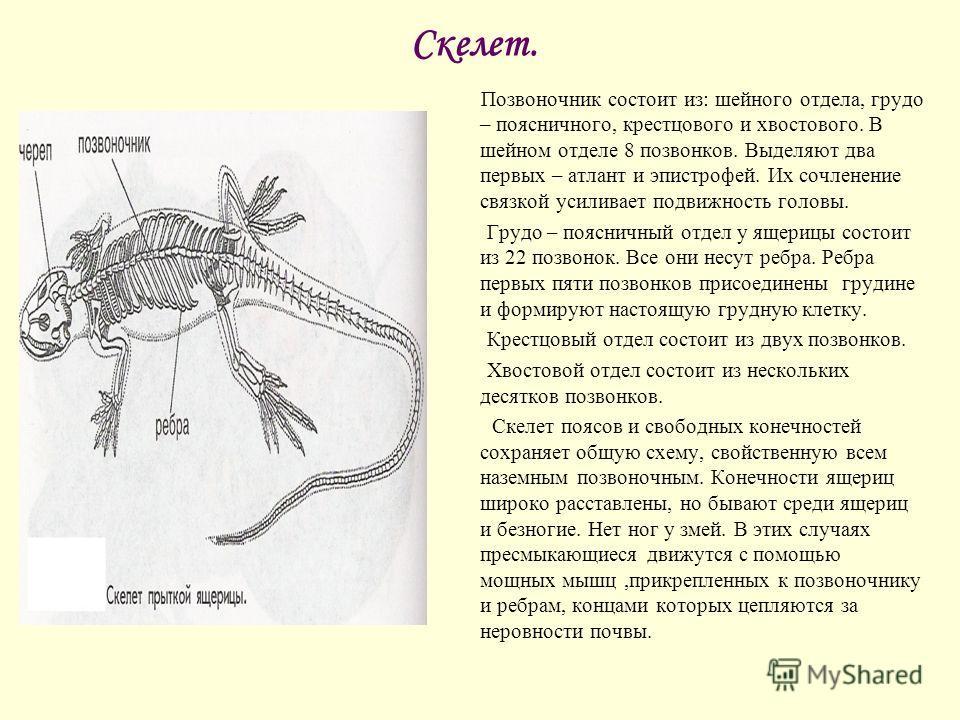 Скелет. Позвоночник состоит из: шейного отдела, грудо – поясничного, крестцового и хвостового. В шейном отделе 8 позвонков. Выделяют два первых – атлант и эпистрофей. Их сочленение связкой усиливает подвижность головы. Грудо – поясничный отдел у ящер