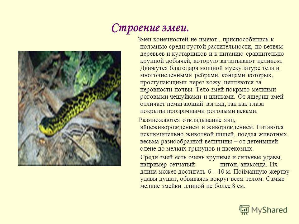 Строение змеи. Змеи конечностей не имеют., приспособились к ползанью среди густой растительности, по ветвям деревьев и кустарников и к питанию сравнительно крупной добычей, которую заглатывают целиком. Движутся благодаря мощной мускулатуре тела и мно