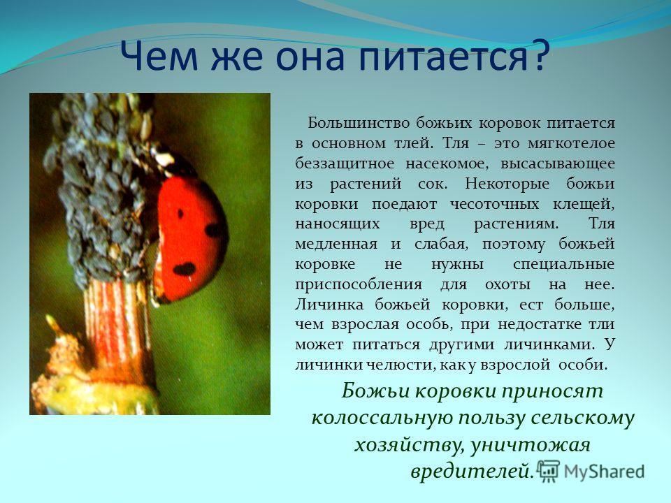 Чем же она питается? Большинство божьих коровок питается в основном тлей. Тля – это мягкотелое беззащитное насекомое, высасывающее из растений сок. Некоторые божьи коровки поедают чесоточных клещей, наносящих вред растениям. Тля медленная и слабая, п