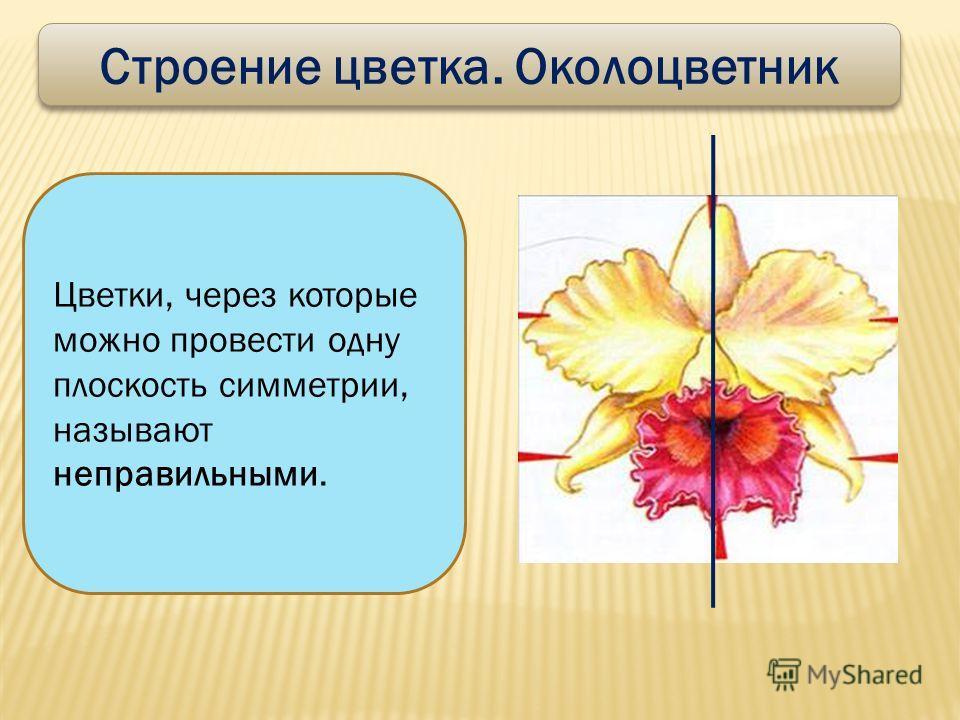Строение цветка. Околоцветник Цветки, через которые можно провести одну плоскость симметрии, называют неправильными.