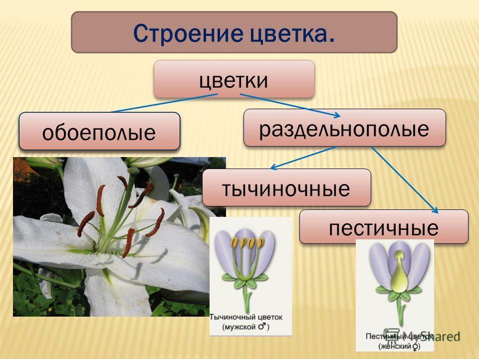 Строение цветка. цветки раздельнополые обоеполые тычиночные пестичные