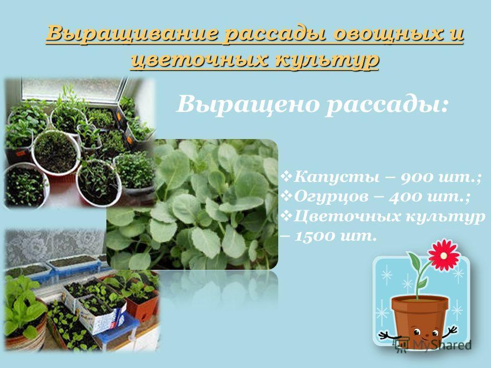 Выращивание рассады овощных и цветочных культур Капусты – 900 шт.; Огурцов – 400 шт.; Цветочных культур – 1500 шт. Выращено рассады:
