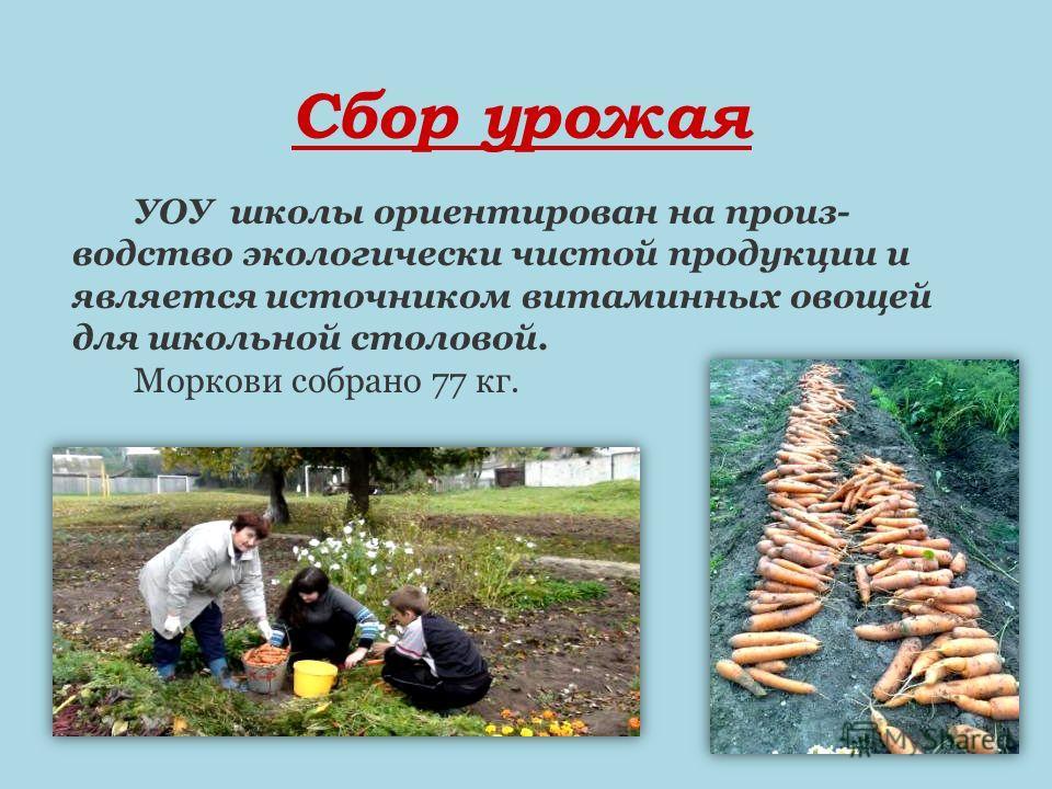Сбор урожая УОУ школы ориентирован на произ- водство экологически чистой продукции и является источником витаминных овощей для школьной столовой. Моркови собрано 77 кг.