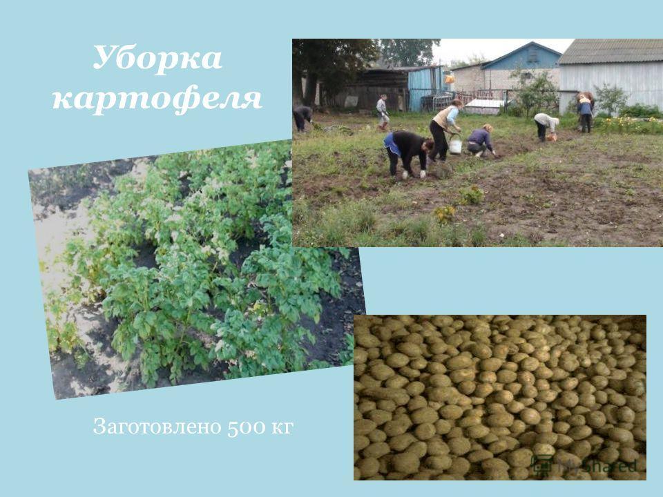 Уборка картофеля Заготовлено 500 кг