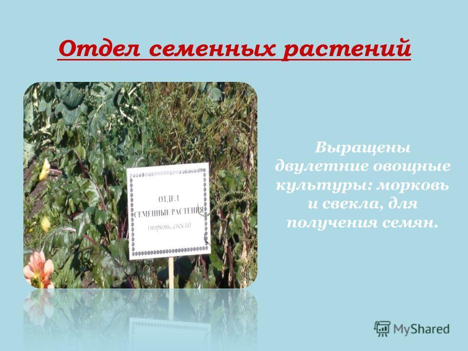 Отдел семенных растений Выращены двулетние овощные культуры: морковь и свекла, для получения семян.
