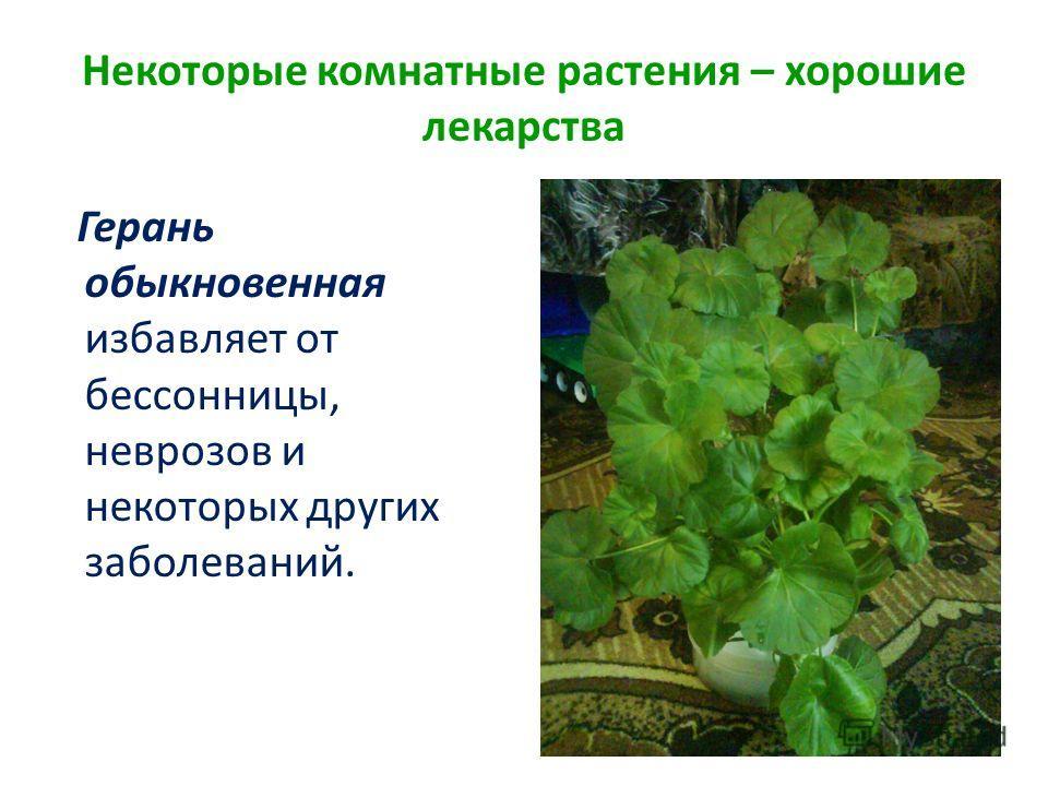 Некоторые комнатные растения – хорошие лекарства Герань обыкновенная избавляет от бессонницы, неврозов и некоторых других заболеваний.