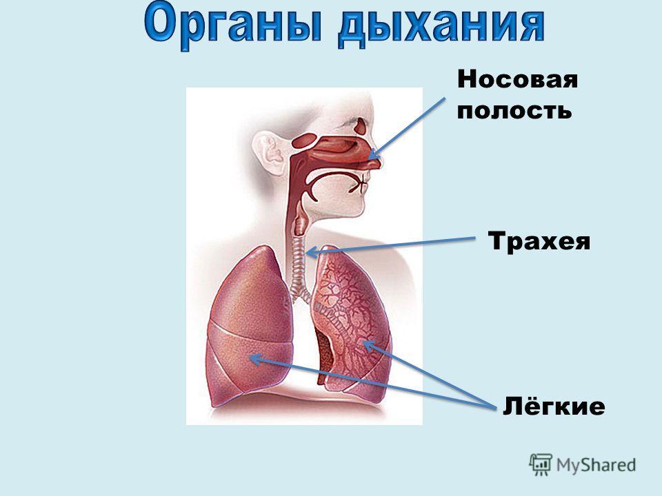 Носовая полость Трахея Лёгкие