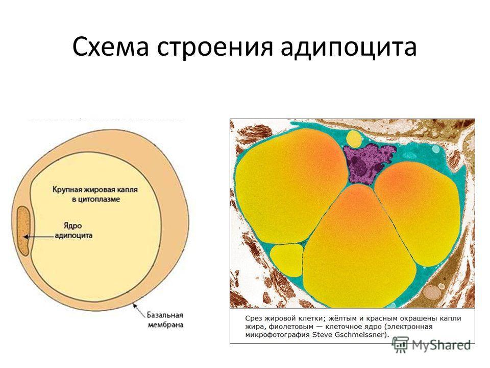 Схема строения адипоцита