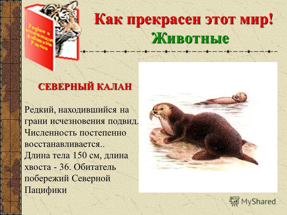 Как прекрасен этот мир! Животные СЕВЕРНЫЙ КАЛАН Редкий, находившийся на грани исчезновения подвид. Численность постепенно восстанавливается.. Длина тела 150 см, длина хвоста - 36. Обитатель побережий Северной Пацифики