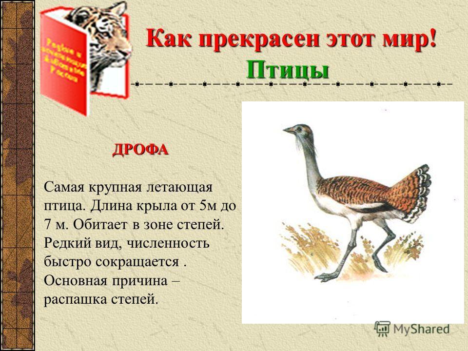 Как прекрасен этот мир! Птицы ДРОФА Самая крупная летающая птица. Длина крыла от 5м до 7 м. Обитает в зоне степей. Редкий вид, численность быстро сокращается. Основная причина – распашка степей.
