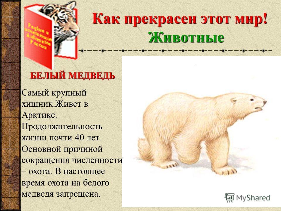 Как прекрасен этот мир! Животные БЕЛЫЙ МЕДВЕДЬ Самый крупный хищник.Живет в Арктике. Продолжительность жизни почти 40 лет. Основной причиной сокращения численности – охота. В настоящее время охота на белого медведя запрещена.