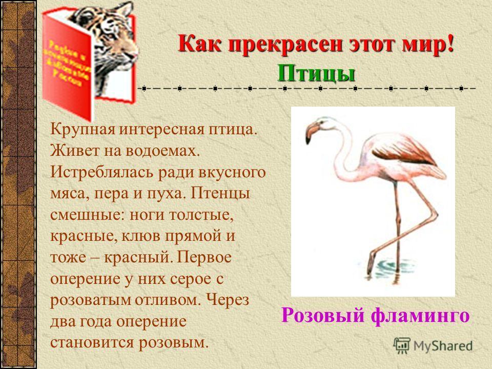 Как прекрасен этот мир! Птицы Крупная интересная птица. Живет на водоемах. Истреблялась ради вкусного мяса, пера и пуха. Птенцы смешные: ноги толстые, красные, клюв прямой и тоже – красный. Первое оперение у них серое с розоватым отливом. Через два г