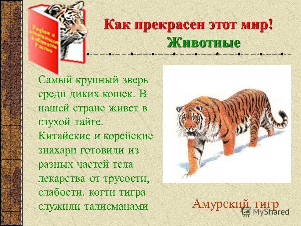 Амурский тигр Как прекрасен этот мир! Животные Самый крупный зверь среди диких кошек. В нашей стране живет в глухой тайге. Китайские и корейские знахари готовили из разных частей тела лекарства от трусости, слабости, когти тигра служили талисманами