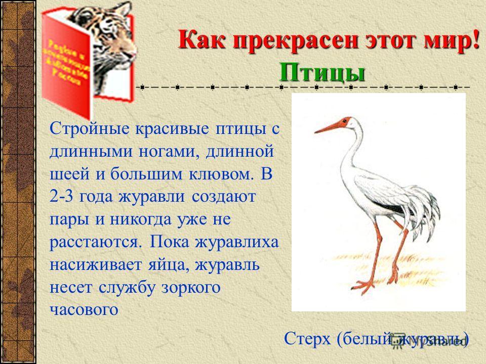 Как прекрасен этот мир! Птицы Стерх (белый журавль) Стройные красивые птицы с длинными ногами, длинной шеей и большим клювом. В 2-3 года журавли создают пары и никогда уже не расстаются. Пока журавлиха насиживает яйца, журавль несет службу зоркого ча