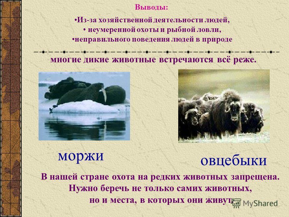 моржи овцебыки Из-за хозяйственной деятельности людей, неумеренной охоты и рыбной ловли, неправильного поведения людей в природе многие дикие животные встречаются всё реже. В нашей стране охота на редких животных запрещена. Нужно беречь не только сам