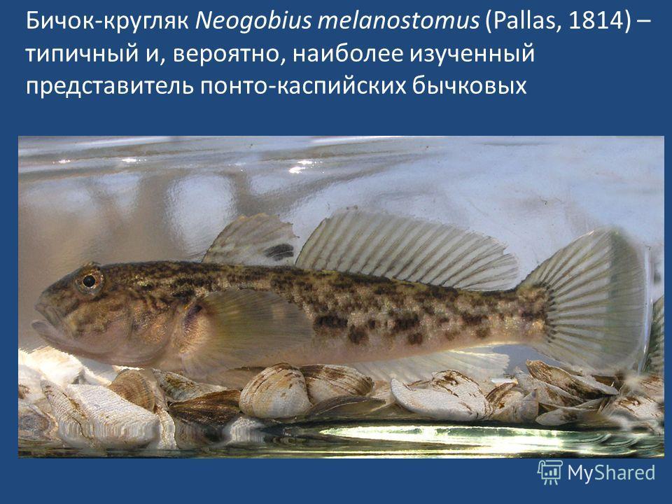 Бичок-кругляк Neogobius melanostomus (Pallas, 1814) – типичный и, вероятно, наиболее изученный представитель понто-каспийских бычковых