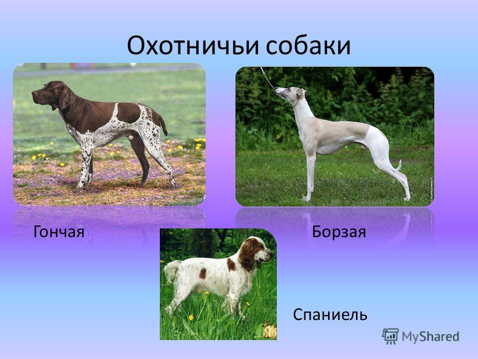 Охотничьи собаки ГончаяБорзая Спаниель