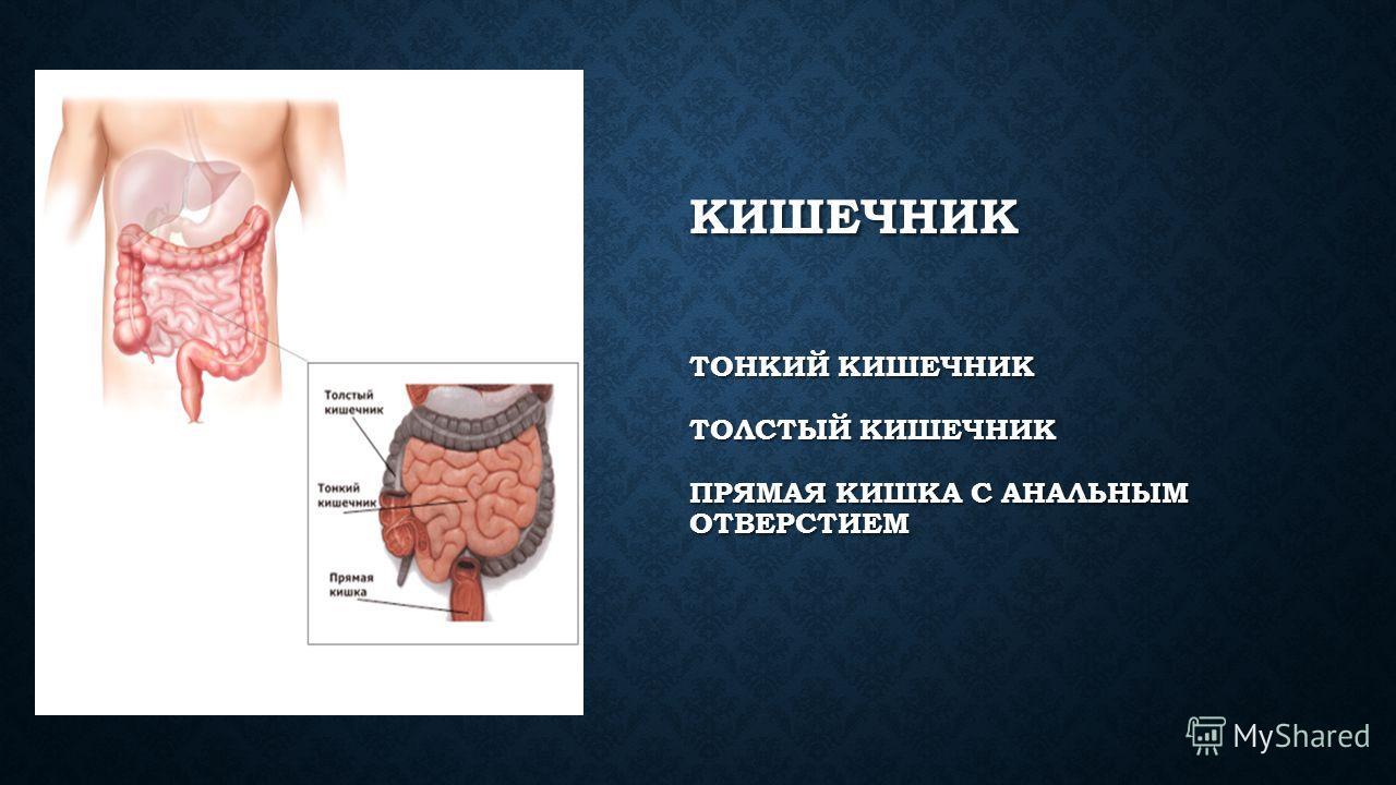 ЖЕЛУДОК Желудок: может растягиваться и вмещать до 2,5 литров; выделяет до 2,5 литров желудочного сока в сутки; пищеварение происходит только при температуре тела 35-37 градусов